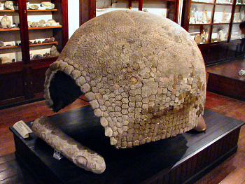 Glyptodon Shell