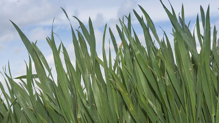 Plantes de blé en bordure de parcelle : feuilles saines - stade 1 - 2 noeuds