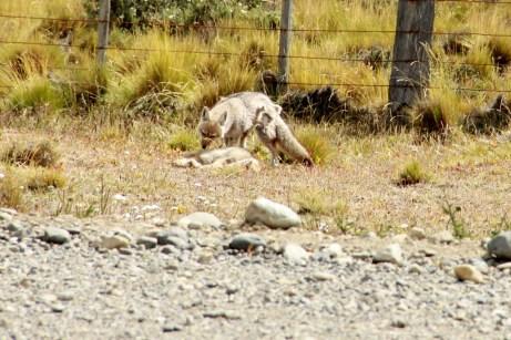 Encontramos na estrada para Punta Arenas uma raposa...