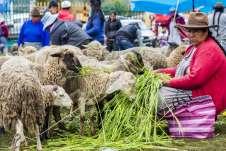 Mulher tratando as ovelhas que estavam à venda