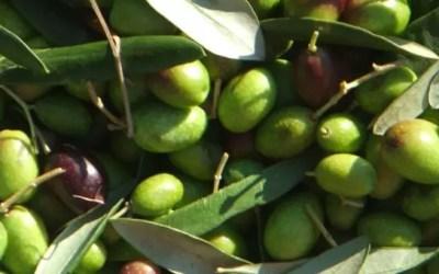 Extravergine, extrabuono, extrasano: il GAL promuove una campagna informativa sull'olio d'oliva