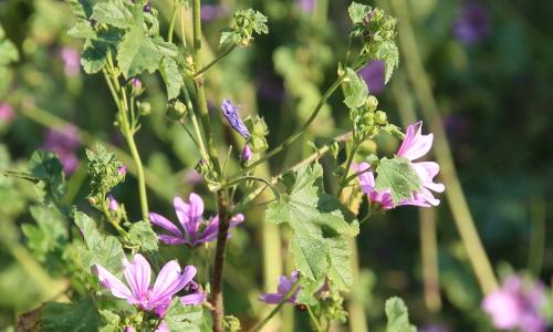 malva in fiore