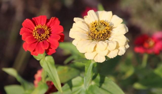 zinnie in fiore a novembre
