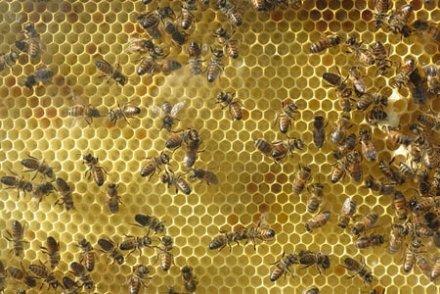 Faute d'abeilles, agriculteur cherche apiculteur pour pollinisation