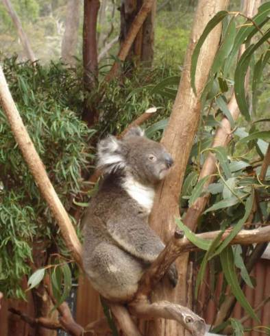 Magnetic-Island- Cuddle a Koala at the Koala village
