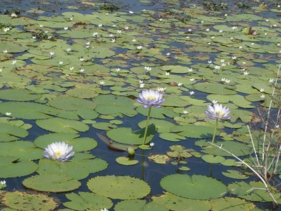 Tropical Townsville - Waterlillies on the Ross River at Riverway