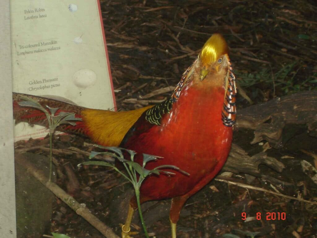 The Golden Pheasant In Chinese Culture And Tradition Terrafirmatourist