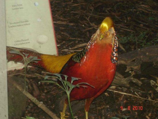 Golden Pheasant at Melbourne Zoo Symbolic in Chinese Art & Culture