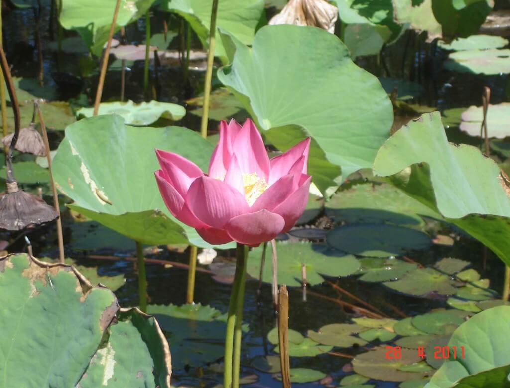 Scrapbooking designs water lilies and the lotus flower scrapbooking designs and layouts water lillies and lotus blossoms izmirmasajfo