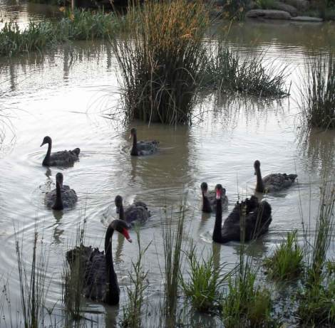 Black-Swans-at-dusk. Birdwatching. Melbourne