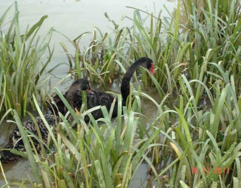 Birdwatching. Black-Swans-feed feed on aquatic plants and algae.