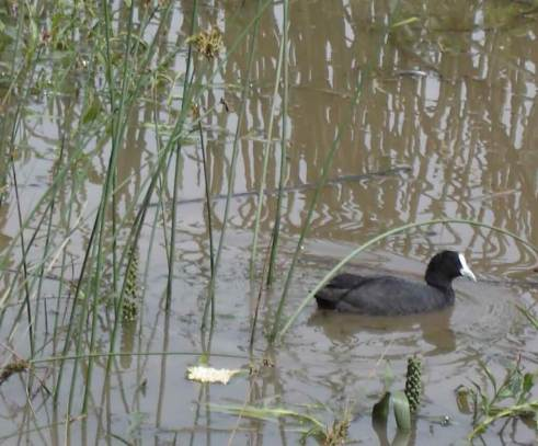 Eurasian coot-with young chick