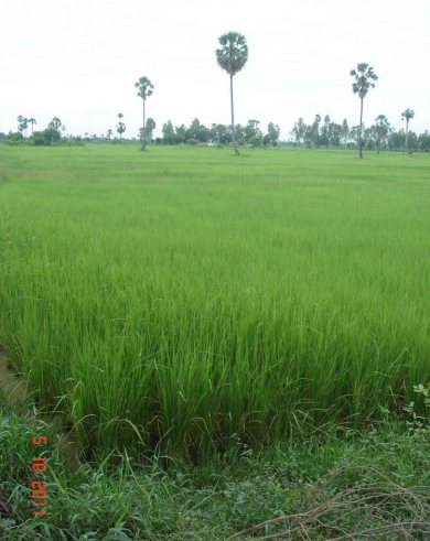 Rice-paddies-and-palm trees - country Cambodia - traditional homes