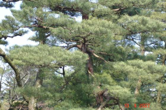 Kenroku-en Park- beautiful soft foliage of Karasaki Pine