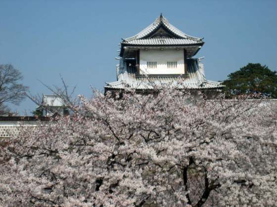 Magnificent display of cherry blossom flowers against stone wall of Kanazawa Castle/Park