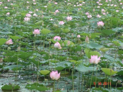Field-of-delicate-lotus-blossoms along the Highway