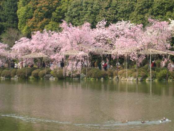 Heavenly weeping cherry blossom trees supported on bamboo trellises,a wonderful sight
