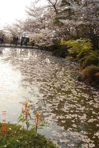 Kiyhomizu-Pond covered in pink petals and reflections, beautiful.