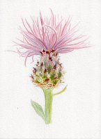 05. Spotted Knapweed