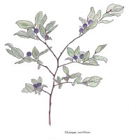 12. Oval-leaved Blueberry