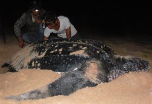 Measuring leatherback sea turtle nesting.