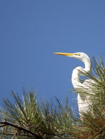 White egret in pine tree