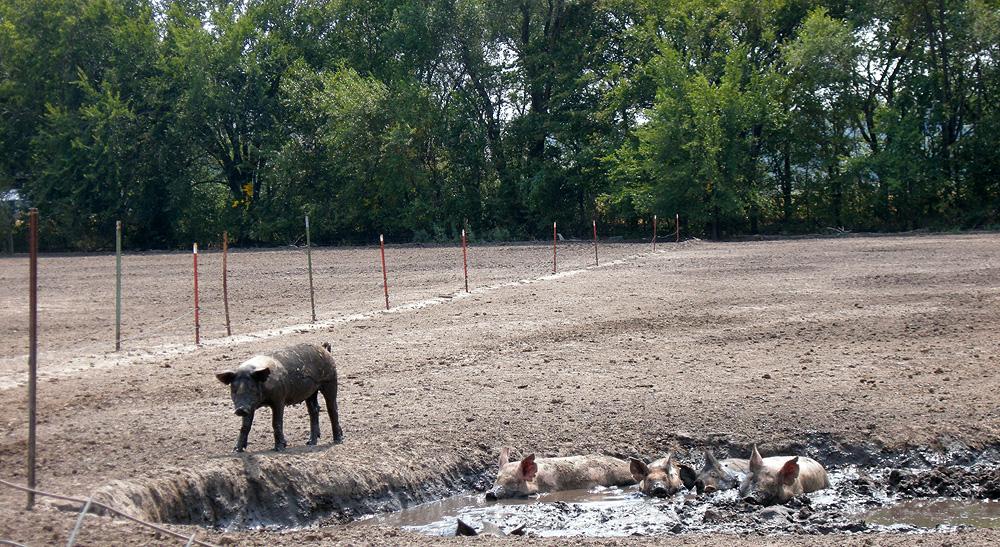Poolside pigs