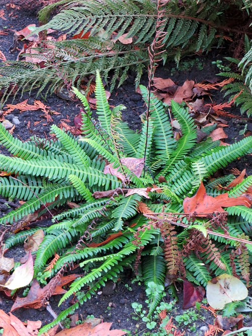 Deer fern