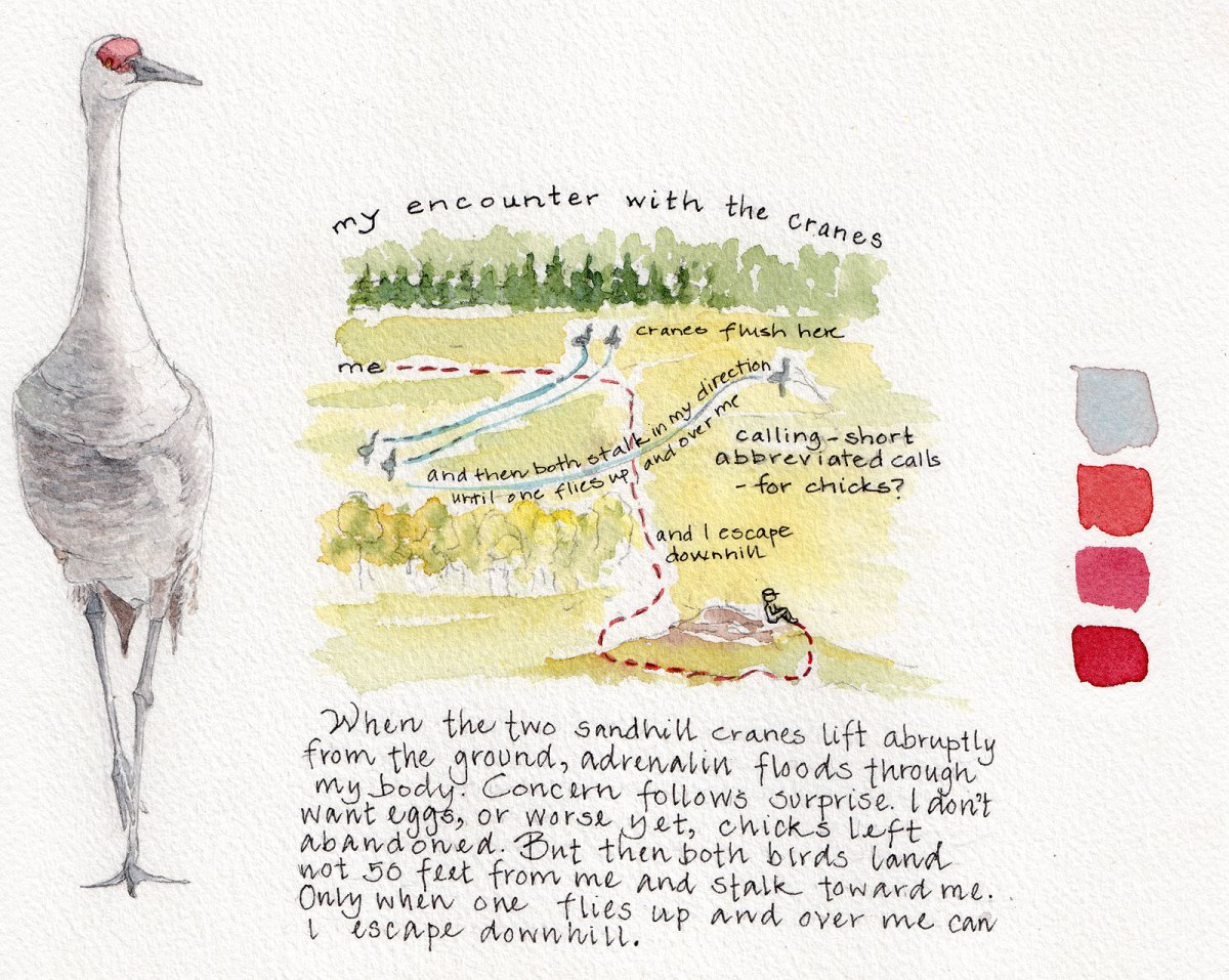 Illustration of Sandhill crane encounter, by Lyn Baldwin