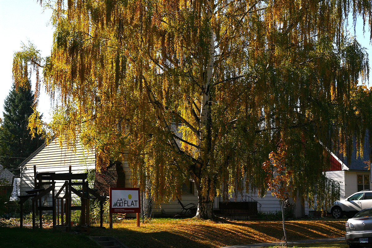 The FLAT home covered in weeping birch. Photo by Nick Triolo.
