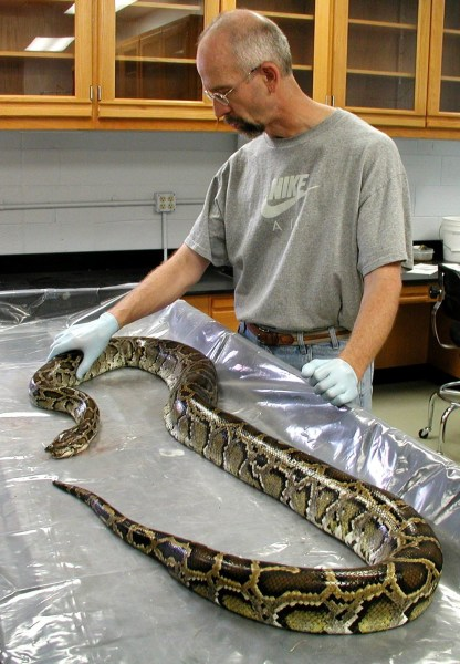 Dr. Skip Snow in the laboratory with a captured Burmese python. Photo courtesy Everglades National Park.