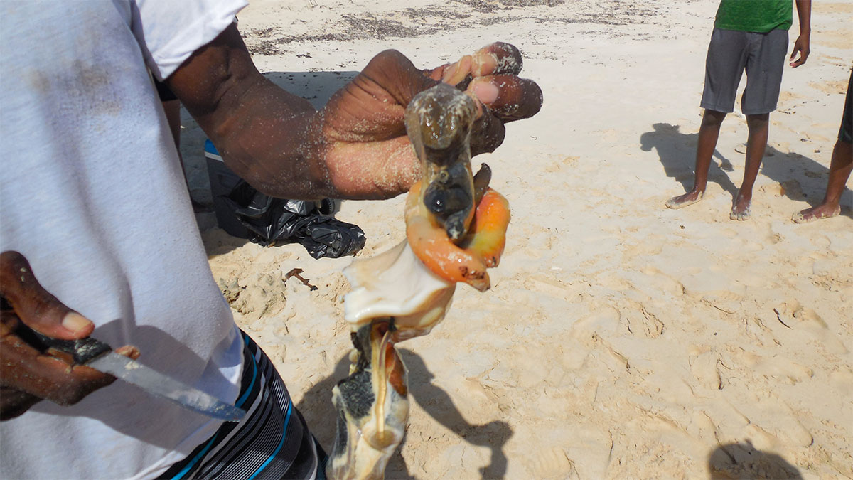 Conch innards