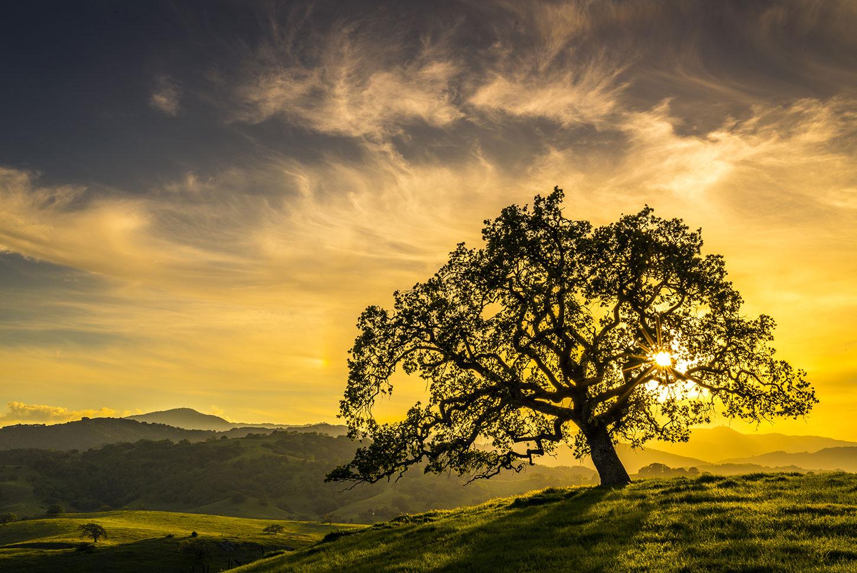 California oak at sunrise