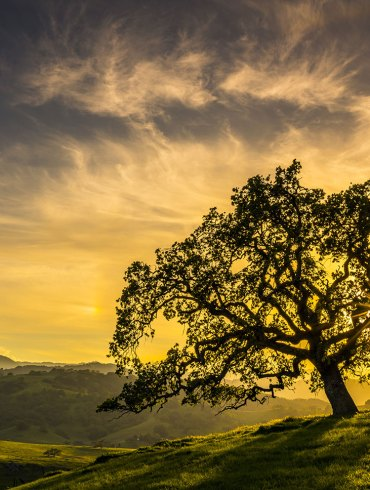 California oak at sunrise