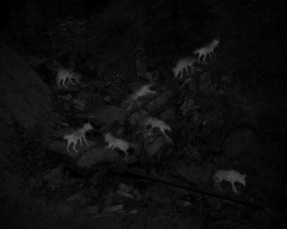 8 Captures of 2 Coyotes, Abandoned Endless Chain Mine, Patagonia Mountains, AZ, Alex Turner, 2019