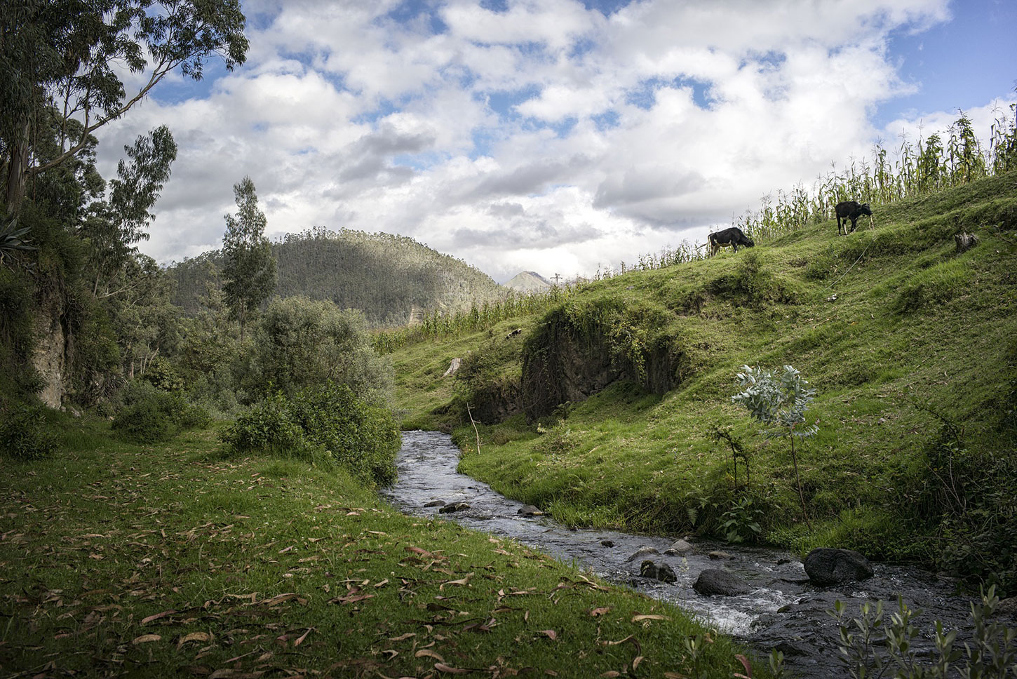 Creek through hilly pasture with cows