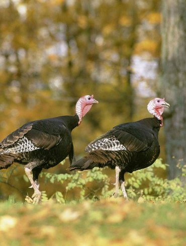 Two turkeys in autumn