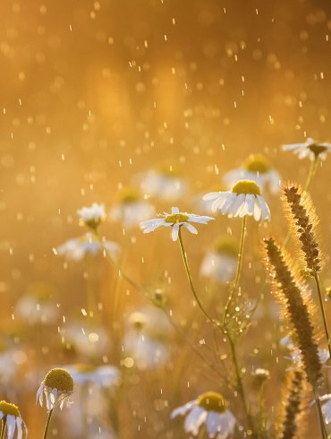 Flowers in rain with golden light