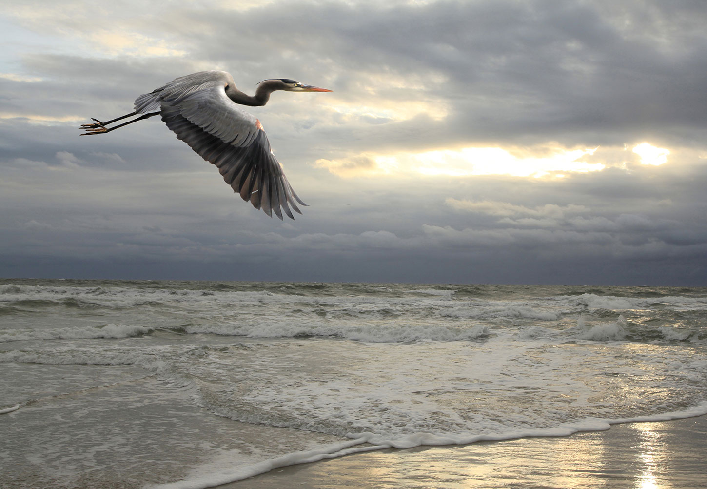 Great blue heron in flight over ocean and beach
