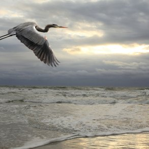 Great blue heron in flight over ocean and beach