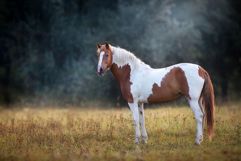 Single pinto horse
