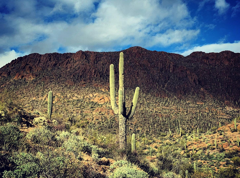 Saguaro in Tucson Mountains