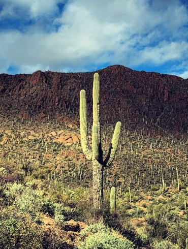 Saguaro in Tucson Mountains
