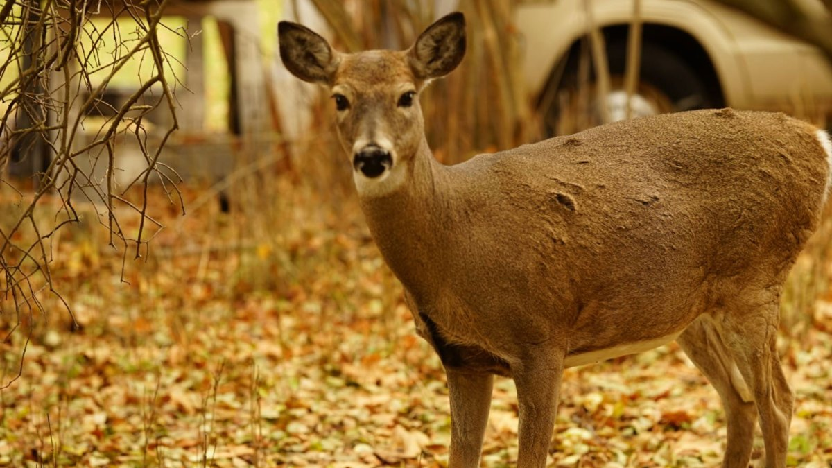 Fuzzy headed deer