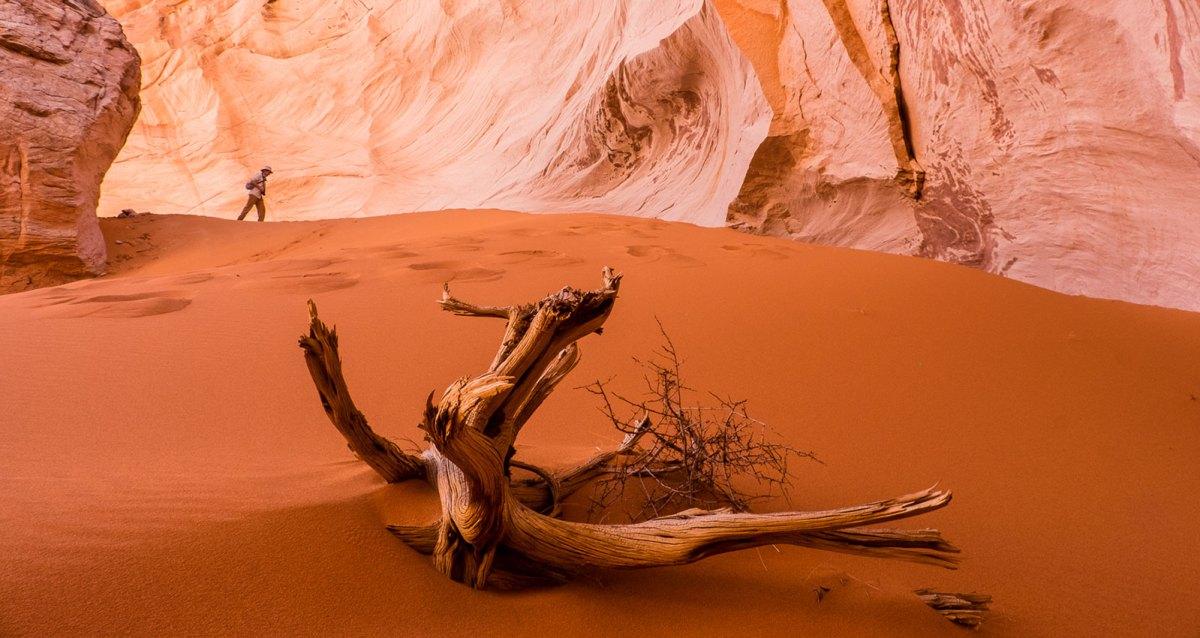 Dead juniper in sand