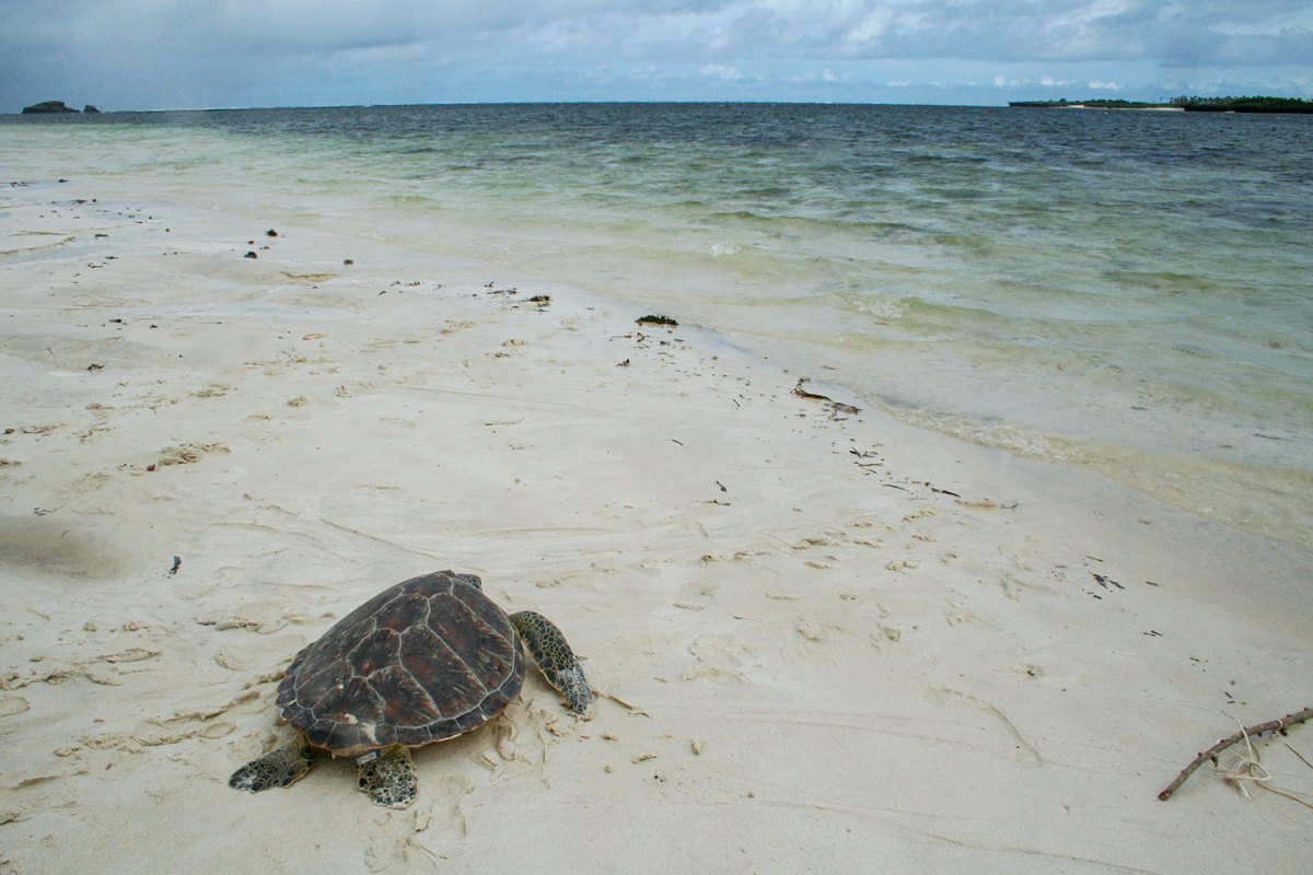 Sea turtle returning to the sea. Photo by Amy Yee.