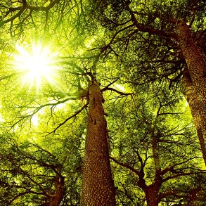 Cedar forest with sunlight