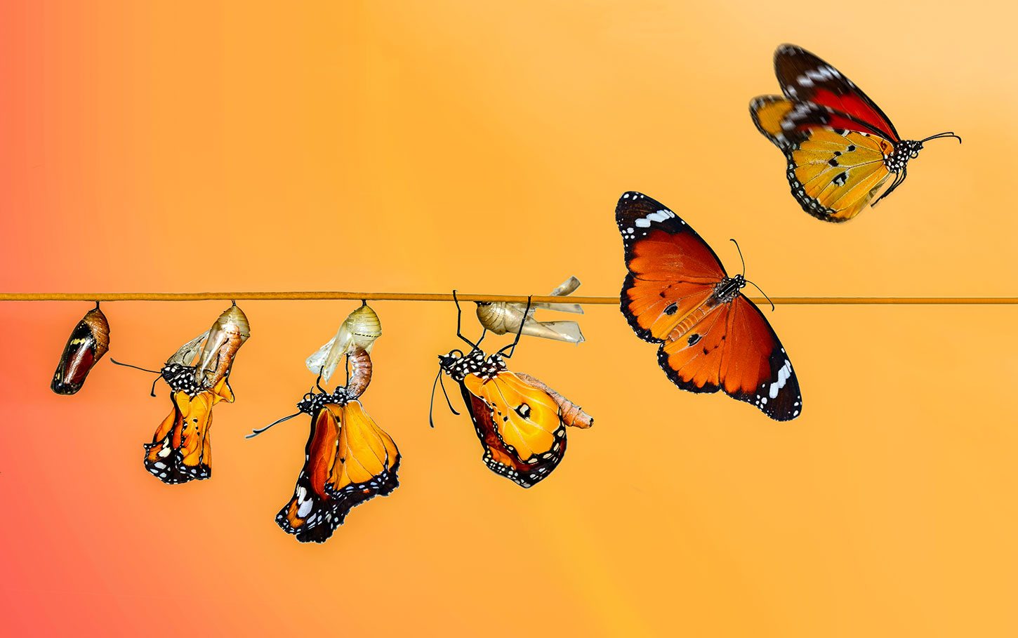 Stages of cocoon to butterfly