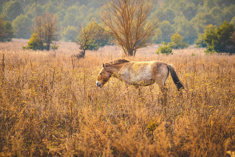 Wild horse at Chernobyl