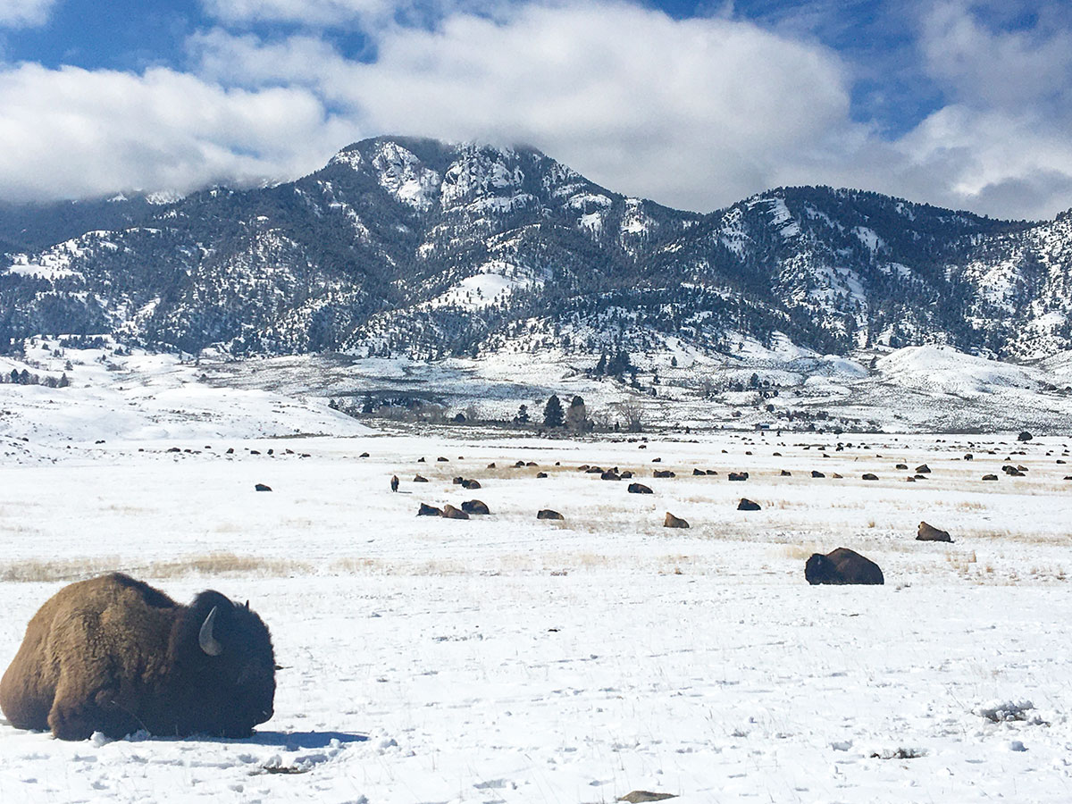 Resting bison in winter. Photo by Corrie Williamson.
